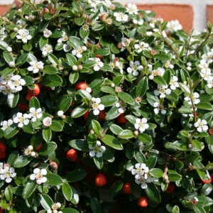 cotoneaster-coral-beauty