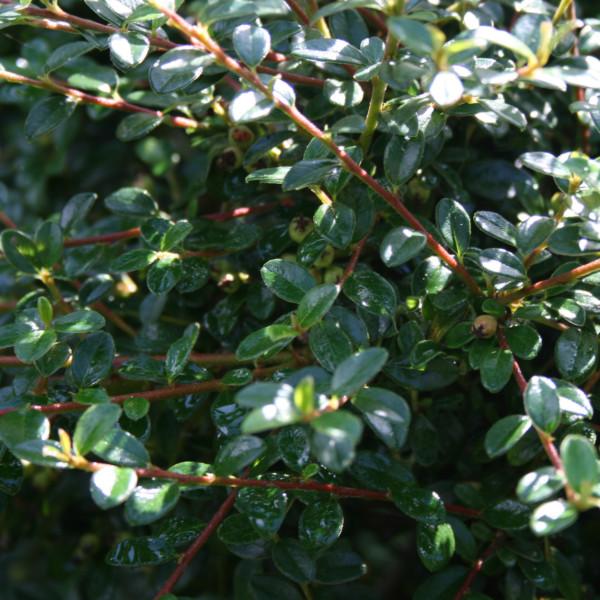 cotoneaster-skogholm