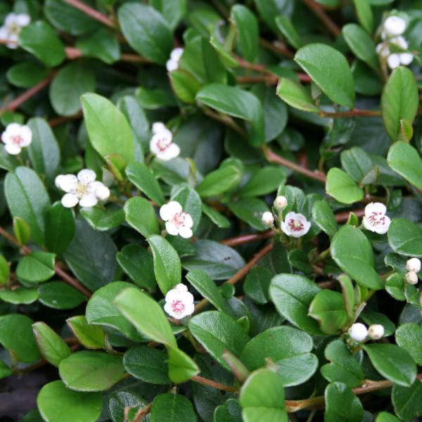 cotoneaster-dammeri-rami