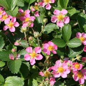 fragaria-pink