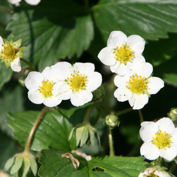fragaria-white