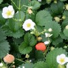 fragaria_white_m_baer