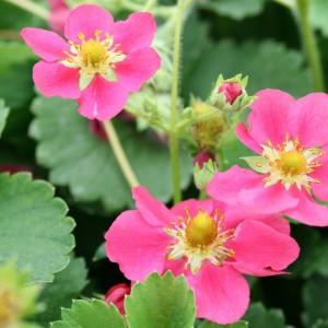 fragaria_deep_rose_blomst