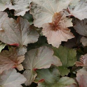 heuchera-americana-palace-purple