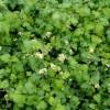 stephanadra-i-blomst