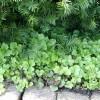 waldsteinia_ternata_guldjordbaer_groen